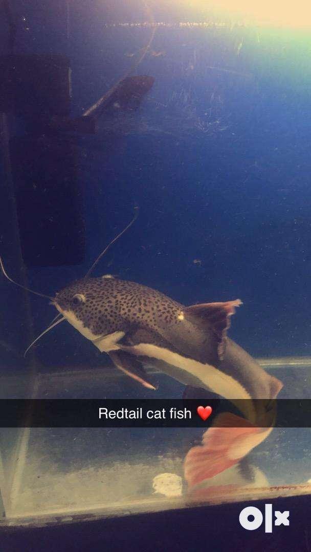 Redtail cat fish 0