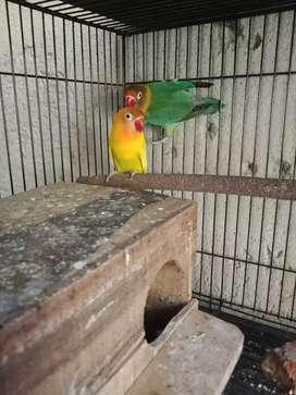 Lovebird real produksi usia 1 th up