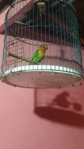 Love Bird dan Kandang