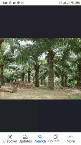 Dijual cepat BU Perkebunan Sawit Aktif dan Siap Replanting dlm 1area