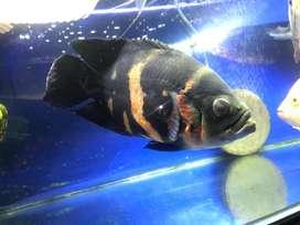 Aquarium / Ikan Oscar Tiger BIG SIZE