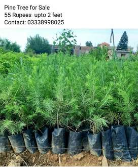 Pine Trees for Sale
