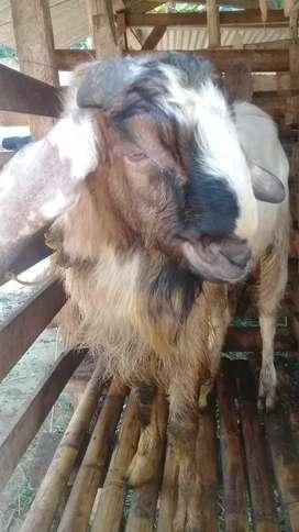 jual kambing akikah, kurban, dan potongan