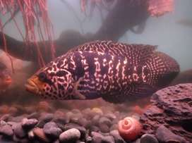Ikan jaguar good marking jumbo