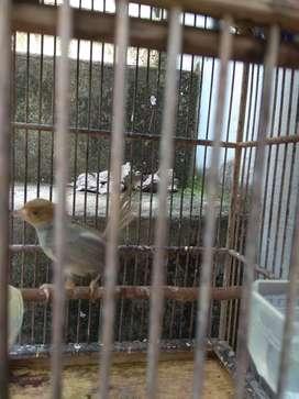 Burung prenjakkk muda