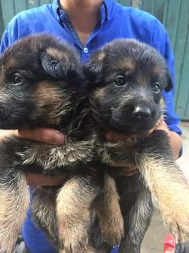 Pupies male and female dubel coat GSD