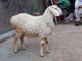 Pure white dumba for sale