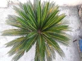Cycas palm plant