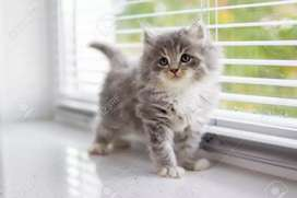 Persian kittens cat for sale