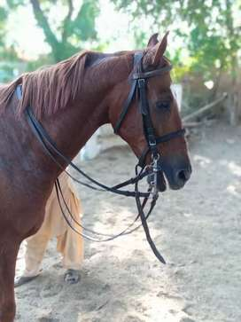 Thoroughbred male horse aged 3.5 years