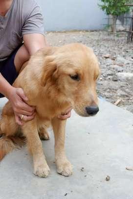 Anakan anjing golden retriever