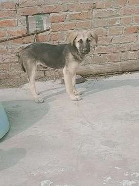 Labrador 3 month old Male for sale