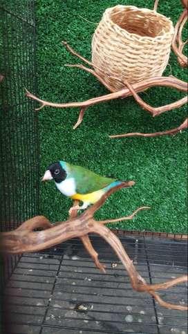 Burung import australia finch gould amadine jantan