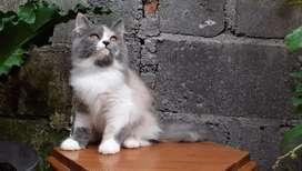 kucing persia medium dilute calico betina lucu