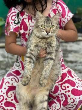Kucing anggora persia betina