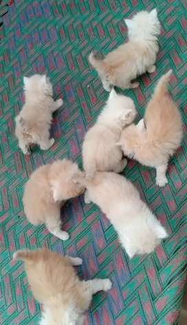 Punch faces Persian Fawn colour 7 Babies