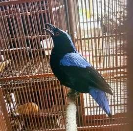 Burung Cucak Berwarna Biru Jantan Rawatan Pribadi Sudah Gacor