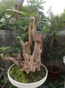 Bahan Bonsai Pule