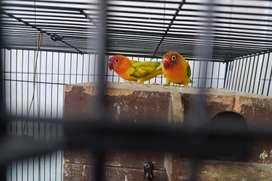 Sepasang Love bird ( bertelur ) + kandang