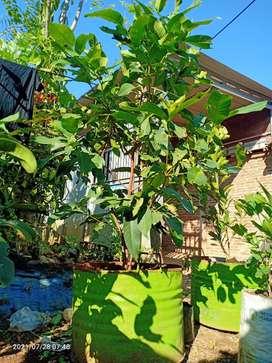 Benih pohon Jambu Deli madu