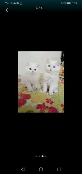 Two beautiful kittens healthy and active