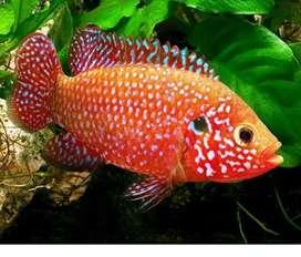 Jewel fish for sale