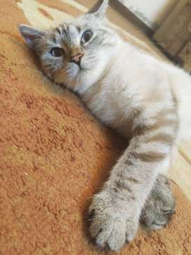 Siberian Cat (very rare) for sale