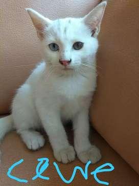 Anakan Kucing Turkish Anggora