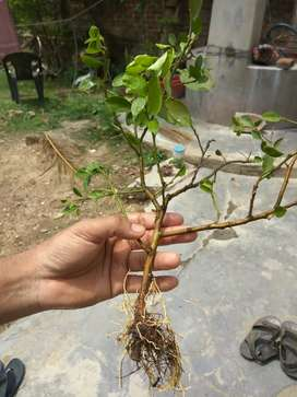 Kolom kora lebu gach (Lemon tree)