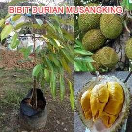 BARU Jual Bibit Durian musangking kaki 3 grade A - DELIFMART