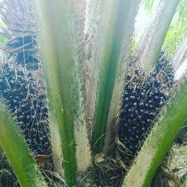 Jual kebun kelapa sawit + lahan kosong. 3 ha lebih