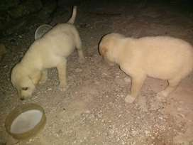 20 to 30 days 2 puppies are availabale..