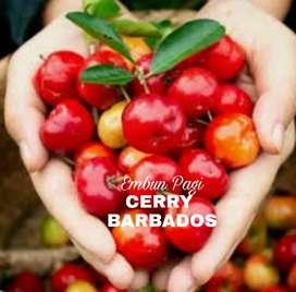 Bibit Cerry Aserola Atau Cerry Barbados