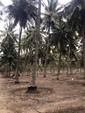 Coconut farm 20 lakh per acer(944/260/59/63)
