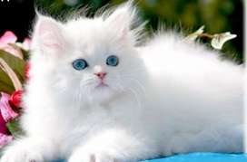 Blue eyed white male Persian kitten for sale