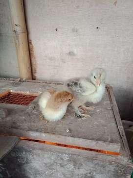 Ayam brahma anakan
