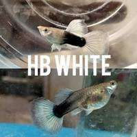 Guppy HB White Siap Breed 0