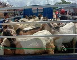 Aqiqah hewan kurban kambing sapi