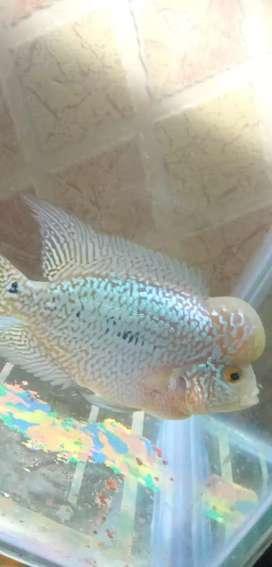 Flowerhone fish
