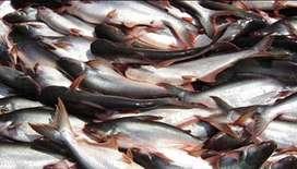 Ikan patin hidup segear