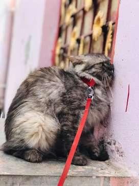 Hey selling my percian cat