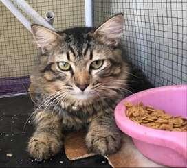 Kucing Persia Tabby (Jantan)