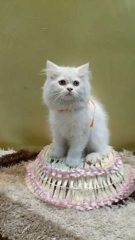 Pure breed healthy baby Persian cat kitten sale