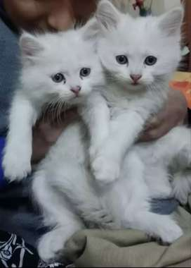 Persian cat male and female
