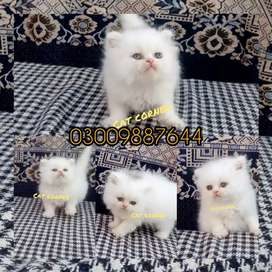 Triple coated kittens for sale