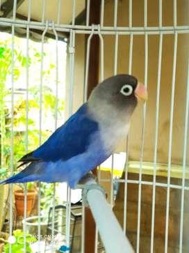Lovebird violet + kandang