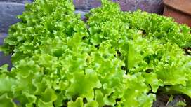 Lettuce potted homegrown plants for sale