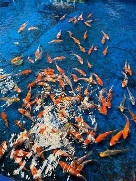 PROMO Buy 2 Get 1 Ikan koi F1 anakan import jepang murni