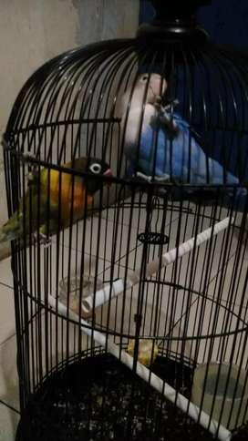 2 ekor burung Lovebird + kandang