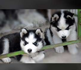 Husky puppies available Wolly coat